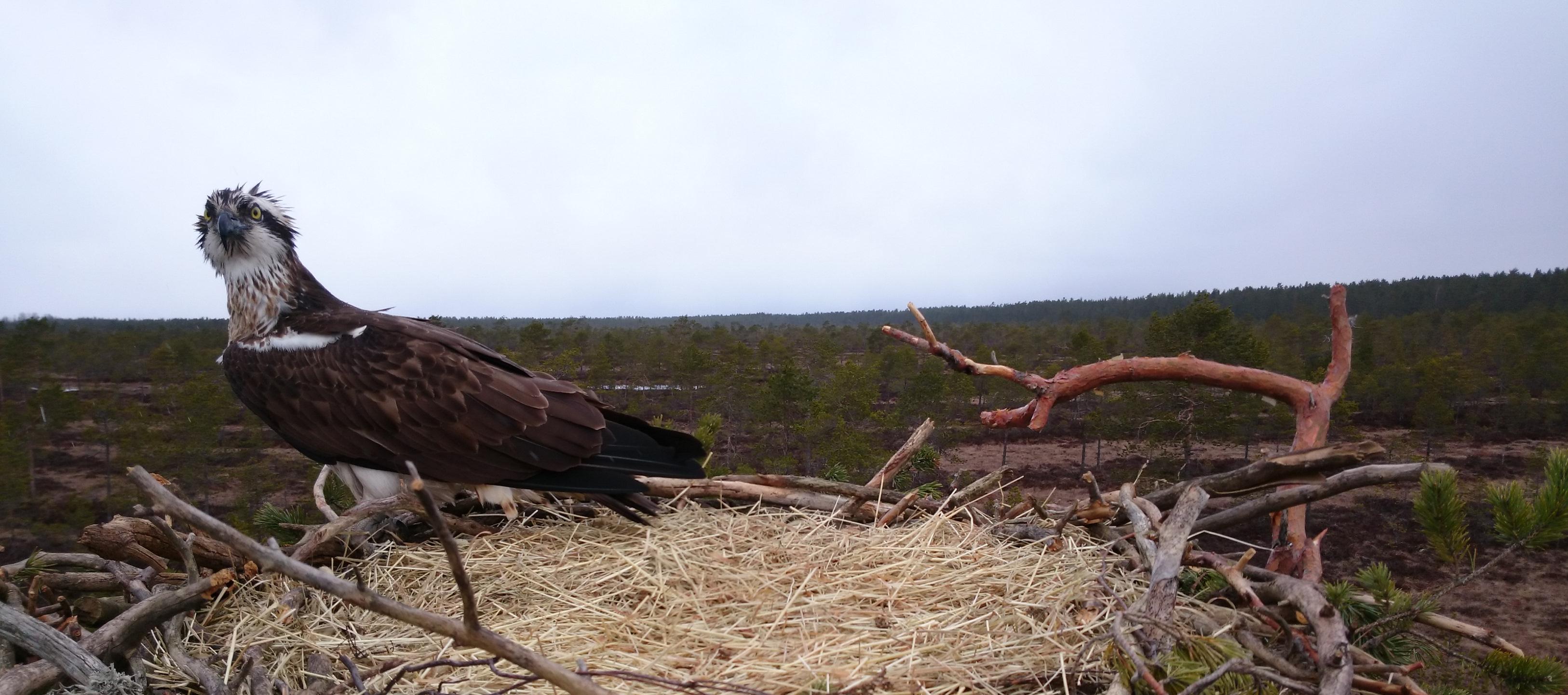 Satakunta Osprey